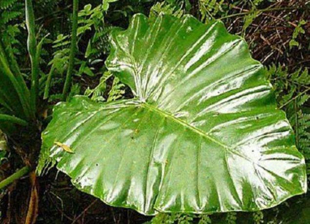 姑婆芋葉子,葉柄在葉片邊邊,野外四處可以取得。本報資料照片