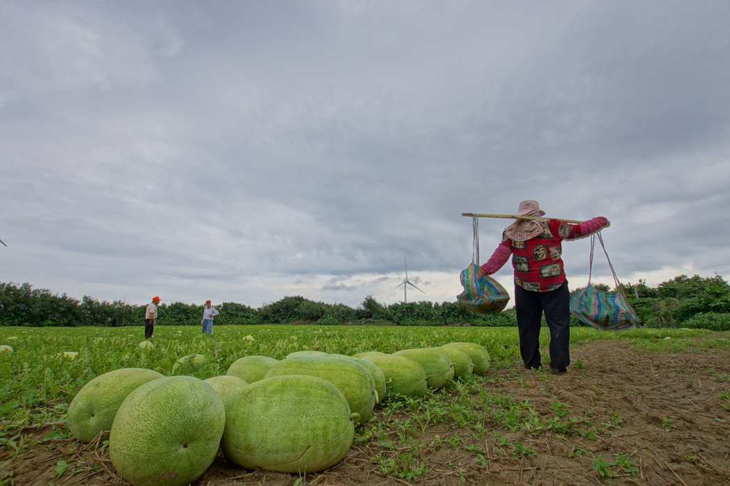 白沙屯媽祖婆網站連續8年辦西瓜體驗活動,邀親子到瓜田採果品嘗,協助當地瓜農行銷。...