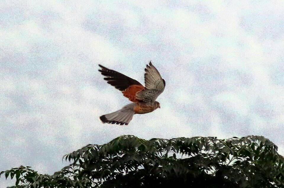 知本濕地不乏候鳥棲息,其中「紅隼」也是嬌客之一。圖/王克孝提供