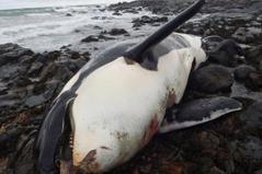 人類汙染史成鯨魚悲歌 牠們竟用肝見證