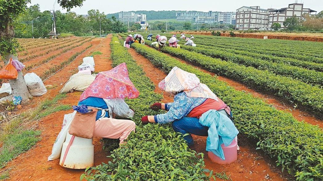 茶園普遍面臨採茶人力不足與老化問題。圖/本報資料照片