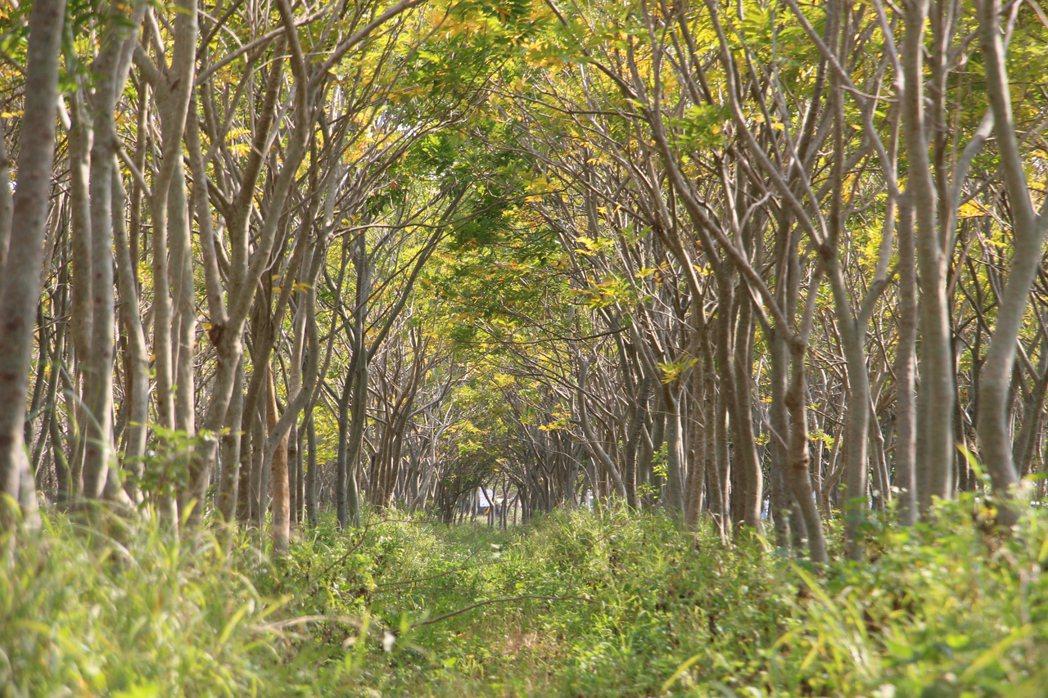 后里區與外埔區交界處的這片無患子樹林,被網友稱為「龍貓隧道」。記者洪上元/攝影
