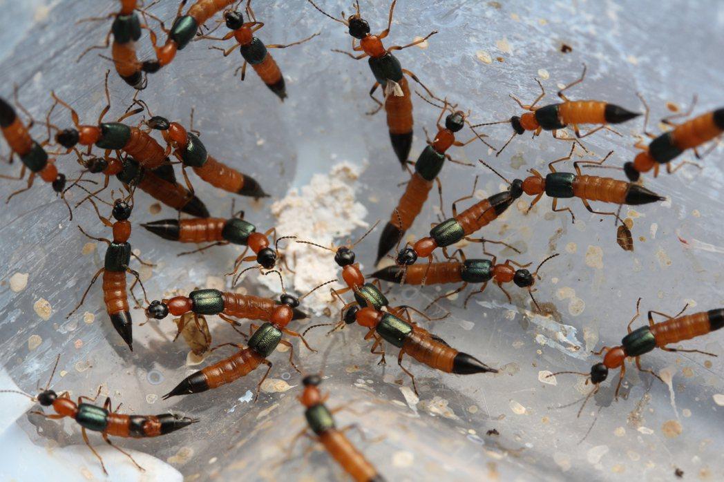 毒隱翅蟲並不會叮咬人,而是被不小心壓碎,人體接觸到含有毒隱翅素的體液才會造成皮膚...