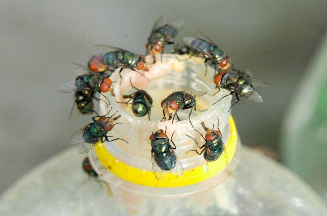 蒼蠅種類非常多,溫度越高,生長速度越快,夏天「養成」一隻蒼蠅大約只要6到8天。 ...