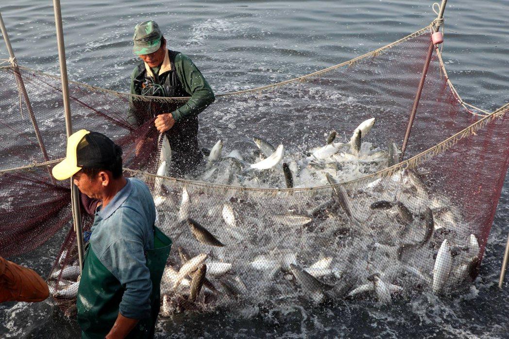 台南學甲是全台虱目魚最大產區,契作漁民為外銷大陸忙撈捕。聯合報資料照片/記者周宗...