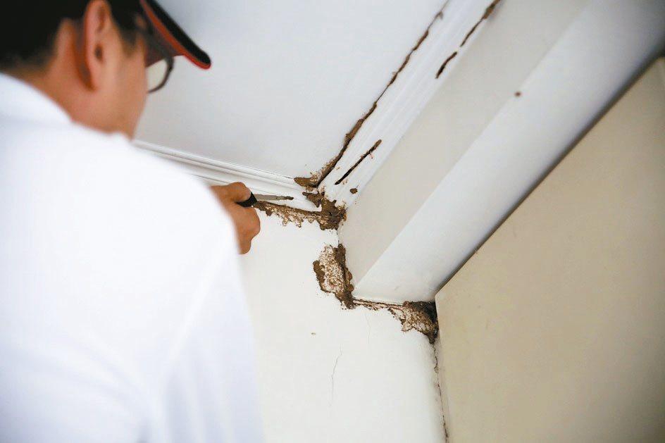 除蟲達人著手清除土色細長狀的蟻道,徹底清除白蟻。 信義居家/提供