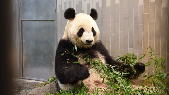 上野動物園中午過後發表貓熊欣欣誕下小貓熊喜訊,剛生產完的欣欣展現母愛,用右手托著...
