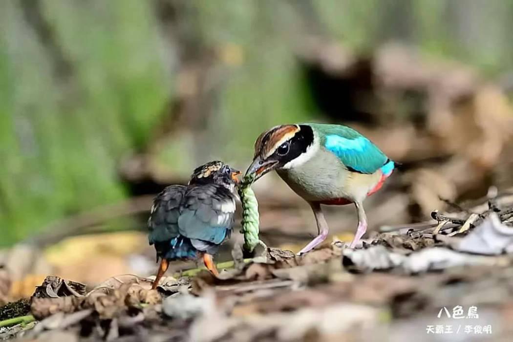 八色鳥餵食雛鳥的鏡頭。 圖/摘自天霸王李俊明臉書