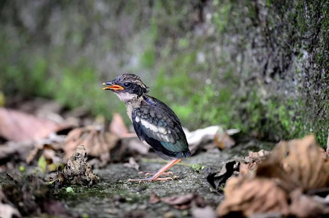 宜蘭的小小八色鳥離巢了,超萌模樣引起攝影人士瘋拍。 圖/摘自天霸王李俊明臉書