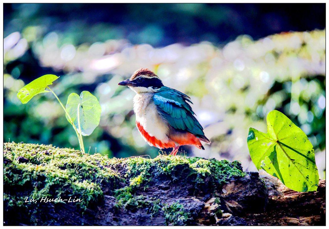 愛鳥人士全天守候,捕捉到晨光中的八色鳥。 圖/呂學麟提供