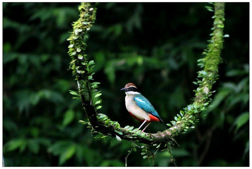 八色鳥站在綠藤蔓上,彷彿在盪鞦韆,可愛極了。 圖/李長寬攝影