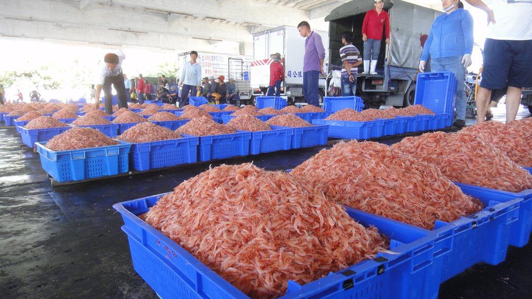 東港櫻花蝦產期為每年11月至隔年5月份,其他期間則為禁捕期。記者蔣繼平/攝影、報...