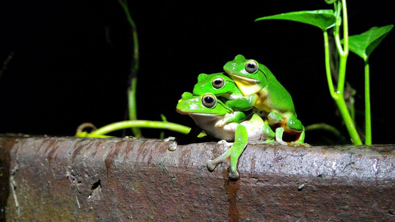 青陽生態園區內莫氏蛙求偶時,競爭激烈。圖∕葉美青提供
