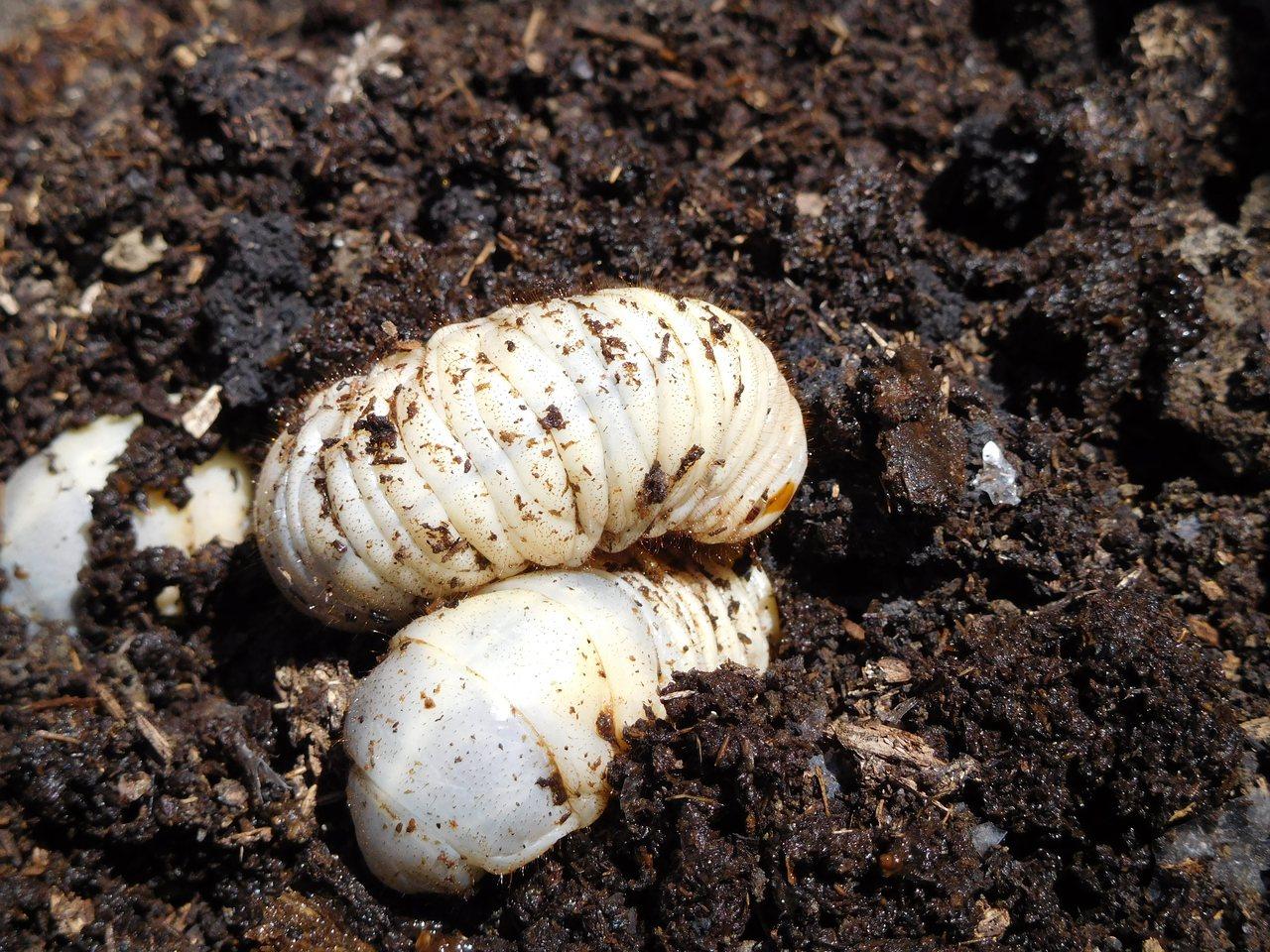 堆肥中的居民─獨角仙。圖∕青陽蝴蝶生態園區女主人葉美青提供