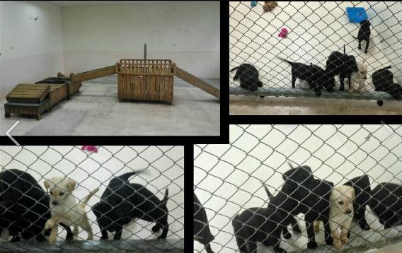 緝毒犬幼犬徵求寄養家庭。