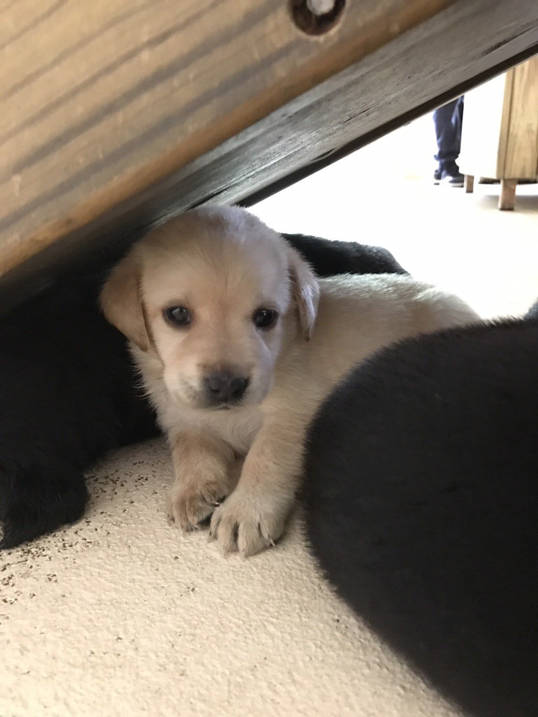 緝毒犬幼犬徵求寄養家庭