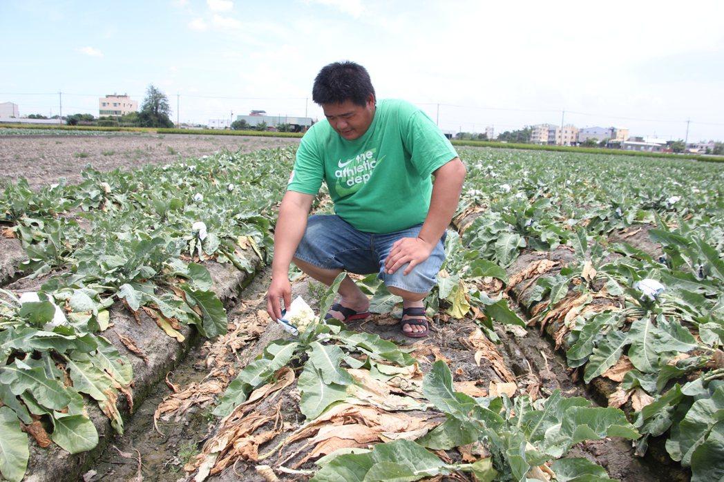 農民說花椰菜田上周泡到水,這二天因出太陽後,葉子開始枯掉,都沒救了。記者林宛諭/...