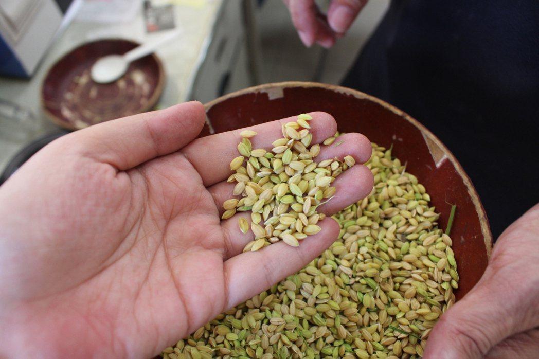 雲林縣稻農近日搶收,稻穀外觀綠油油,不熟成率高。記者姜宜菁/攝影