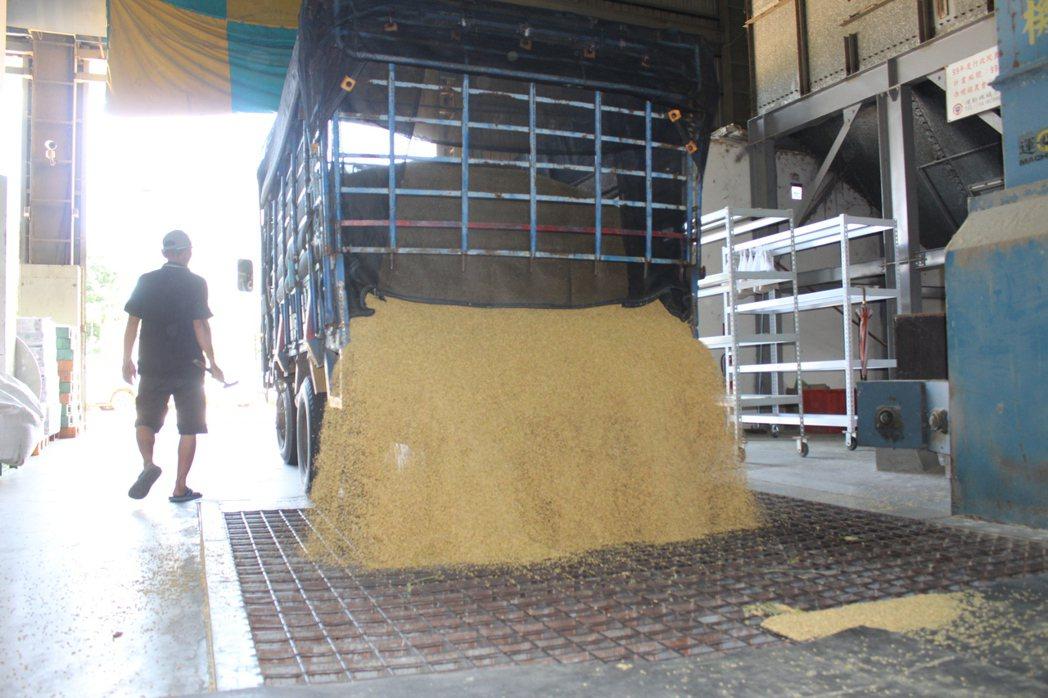 雲林縣西螺和二崙等農會今天繳交稻穀的量激增,為平常的2倍。記者姜宜菁/攝影