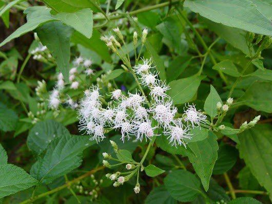 和銀膠菊、小花蔓澤蘭同被聯合國國際保育聯盟列入出世界百大惡性入侵物種的香澤蘭,已...