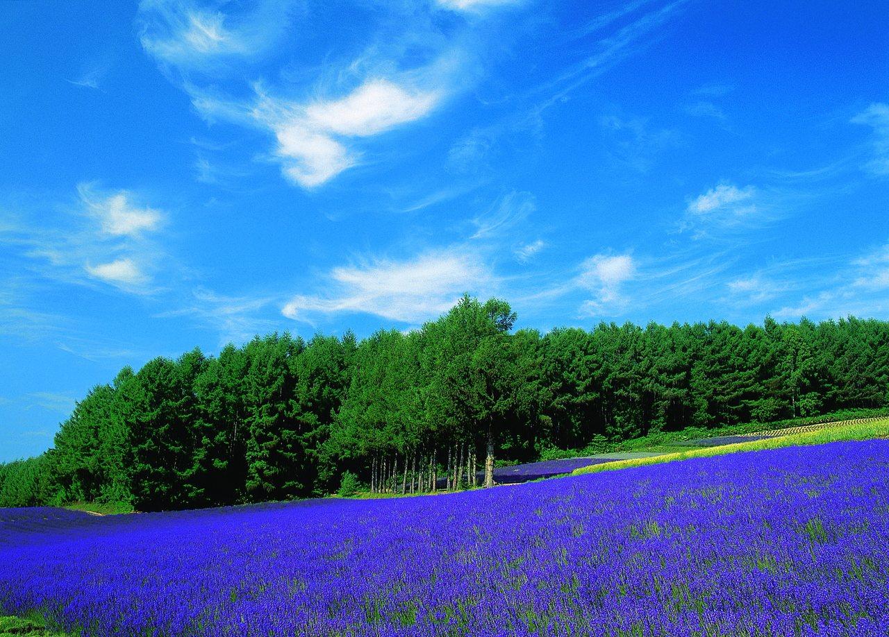 富良野薰衣草是北海道最知名景點。圖/旅奇整合行銷提供