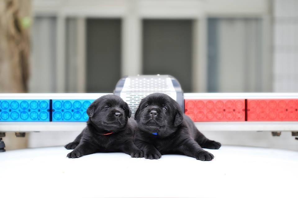 台灣滿月小警犬 萌到英國每日郵報網站專文介紹