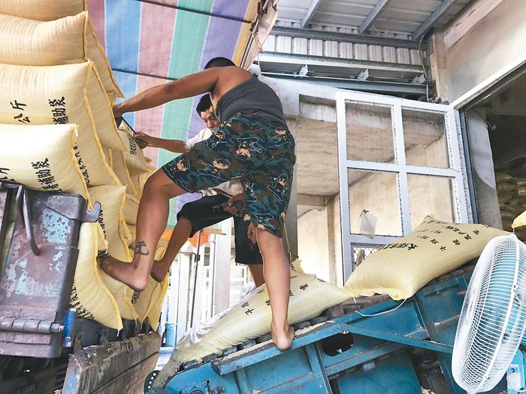 農民搶收水稻運送農會稻穀烘乾中心。 記者魯永明/攝影