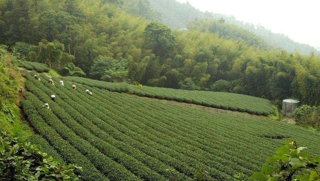 台灣茶市中的「風土派」,還出現了一種玄之又玄的「山頭氣」說法,宣稱每個山頭都有獨...