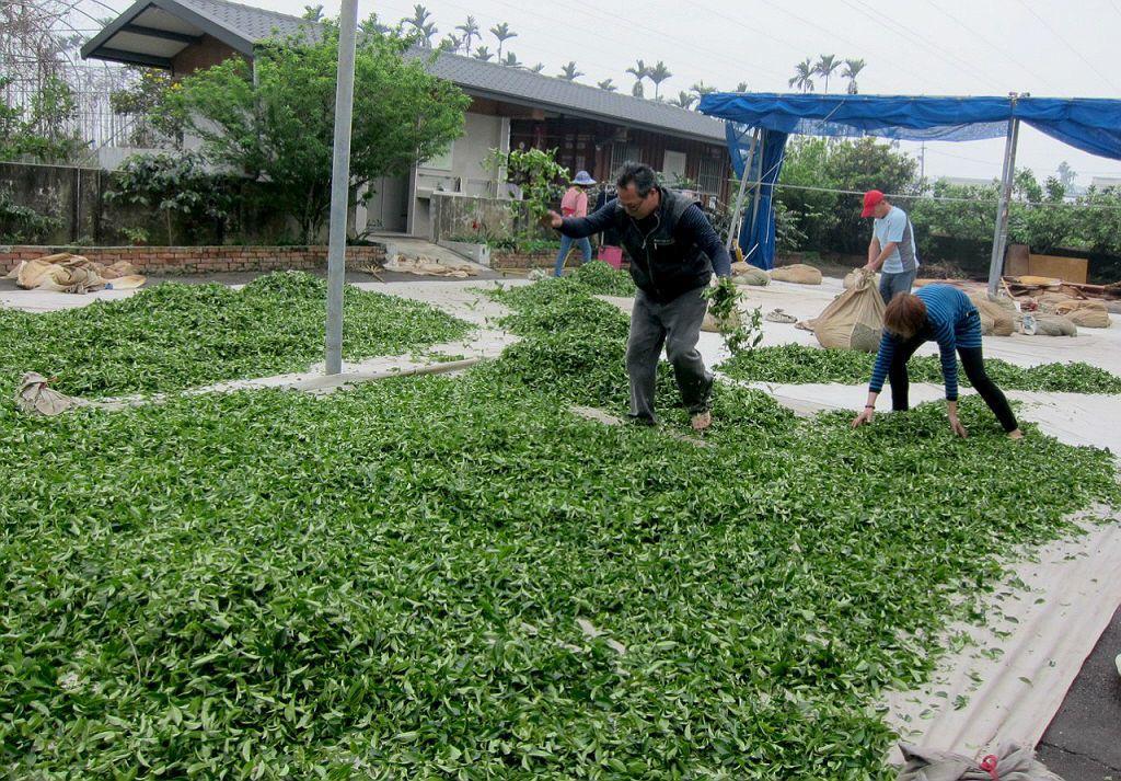 「萎凋」是烏龍茶製程中的一環,萎凋不足會導致茶葉中殘留水分過多,使茶葉無法發酵,...