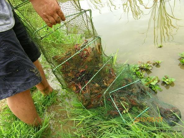 小龍蝦養殖。 圖/摘自百度圖片