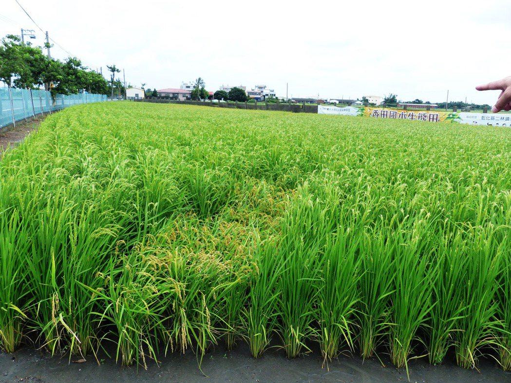 香田國小生態田因LED路燈長期照射,影響越光米生長,有遮蔽的部分已經變黃,但照光...
