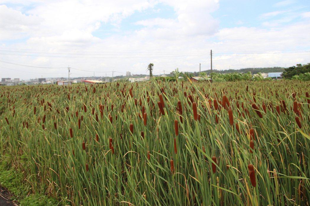 香蒲一般常見生長在水稻田與沼澤地,花壇現在有人種植具經濟規模面積。記者林敬家/攝...