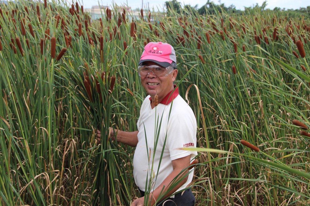 花壇鄉民蔣敏全種植5分多的香蒲。記者林敬家/攝影