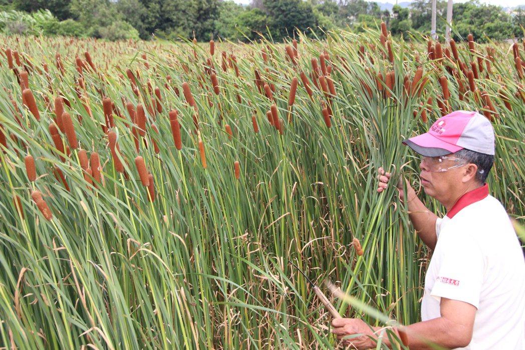 彰化縣花壇鄉民蔣敏全種植5分多的香蒲田,隨風搖曳。 記者林敬家/攝影