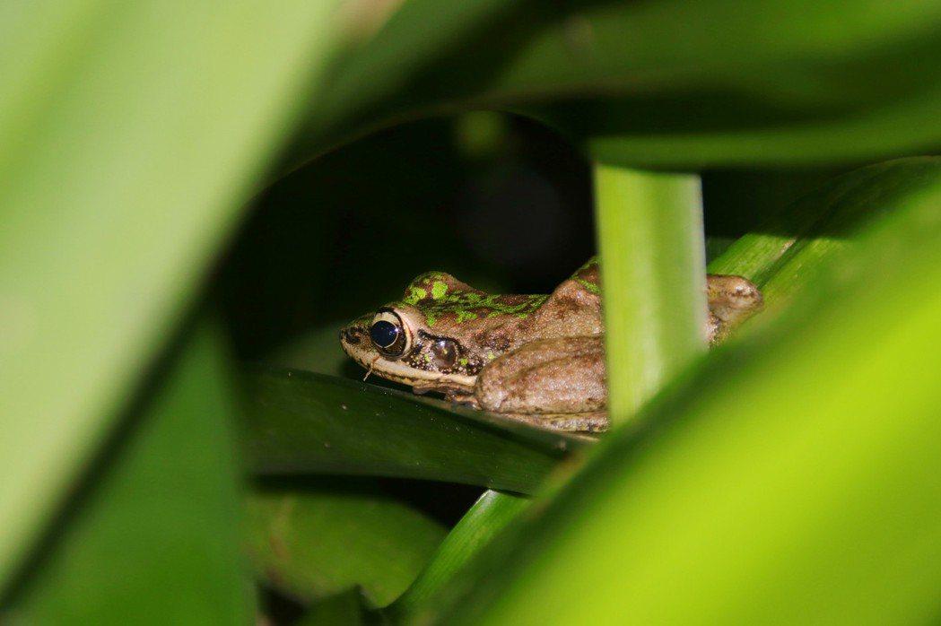 斯文豪氏赤蛙躲在樹叢間。 記者曾健祐/攝影
