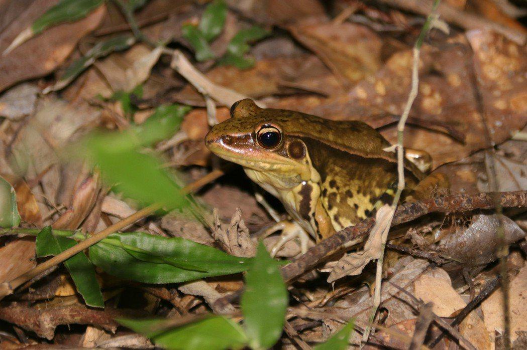 貢德氏赤蛙早年曾列保育類蛙種,目前族群穩定隨處可見,鳴叫聲宏亮,又有「狗蛙」之稱...