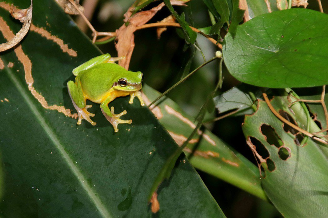 中國樹蟾迷你可愛,還有翠綠色澤,是阿里磅生態農場中最受歡迎的蛙種。 記者曾健祐/...