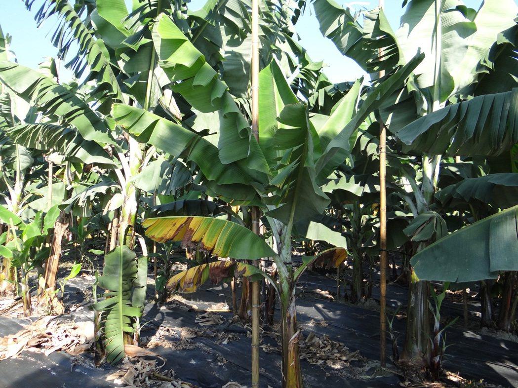 香蕉產地價每公斤剩7~8元,蕉農心在淌血。記者陳崑福/攝影