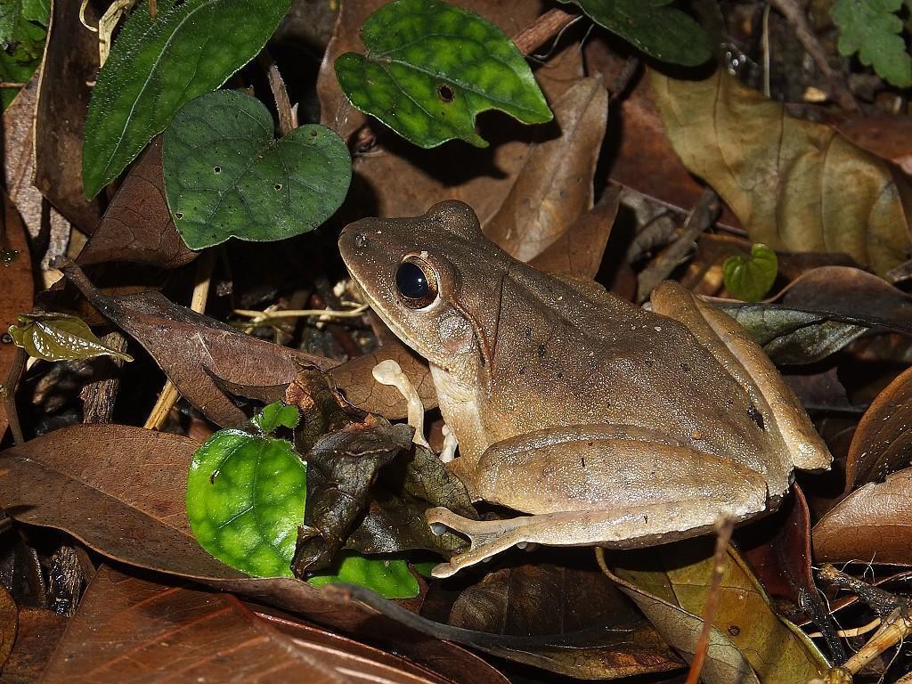 台灣原生種「布氏樹蛙」外觀、棲地和斑腿樹蛙相似,因此族群受到嚴重威脅。圖/沈錦豐...