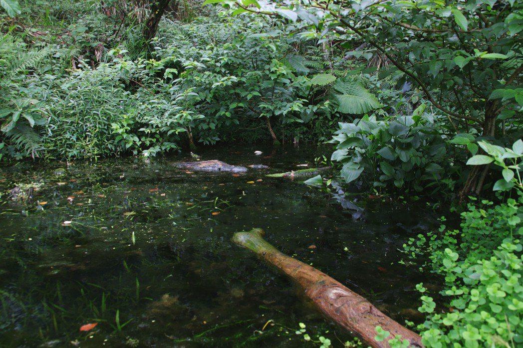 基隆天外天復育公園的生態池內,今年4月首次發現斑腿樹蛙。記者曾健祐/攝影