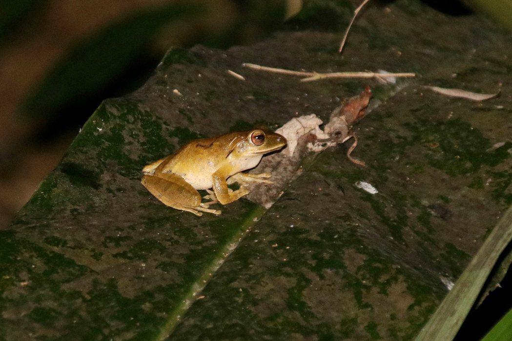 斑腿樹蛙因適應力極強,蝌蚪較早孵化,會佔據水生棲地,吞食其他原生蛙種,衝擊生物多...