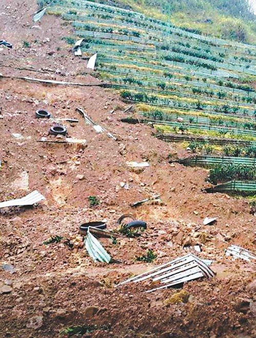 杉林溪大崙山區茶田覆土遭大雨浸泡,整片山坡土崩,茶農欲哭無淚。 圖/農友提供