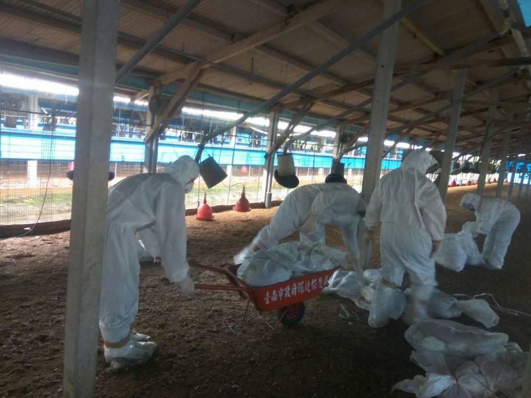 台南下營再傳H5N2禽流感,昨撲殺約3萬4千隻皇金雞。圖/台南市動保處提供