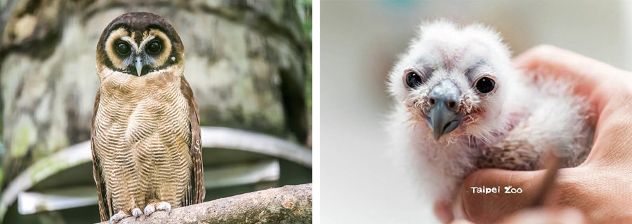 一身白绒绒羽毛的幼雛寶寶(右),原來長大後是帥氣挺拔的褐林鴞(左)。(photo...