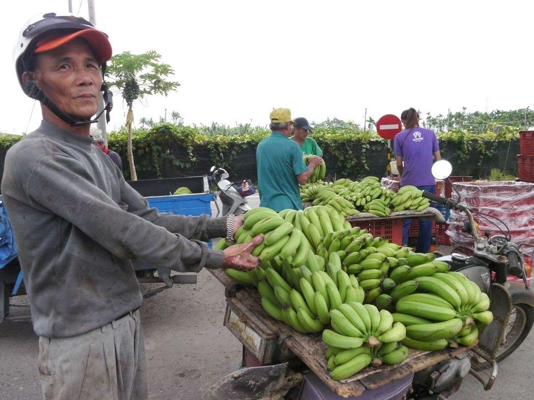 旗山老蕉農哀怨說,機車上這堆香蕉今天只能賣200元,若在價格高點,至少會有1千元...