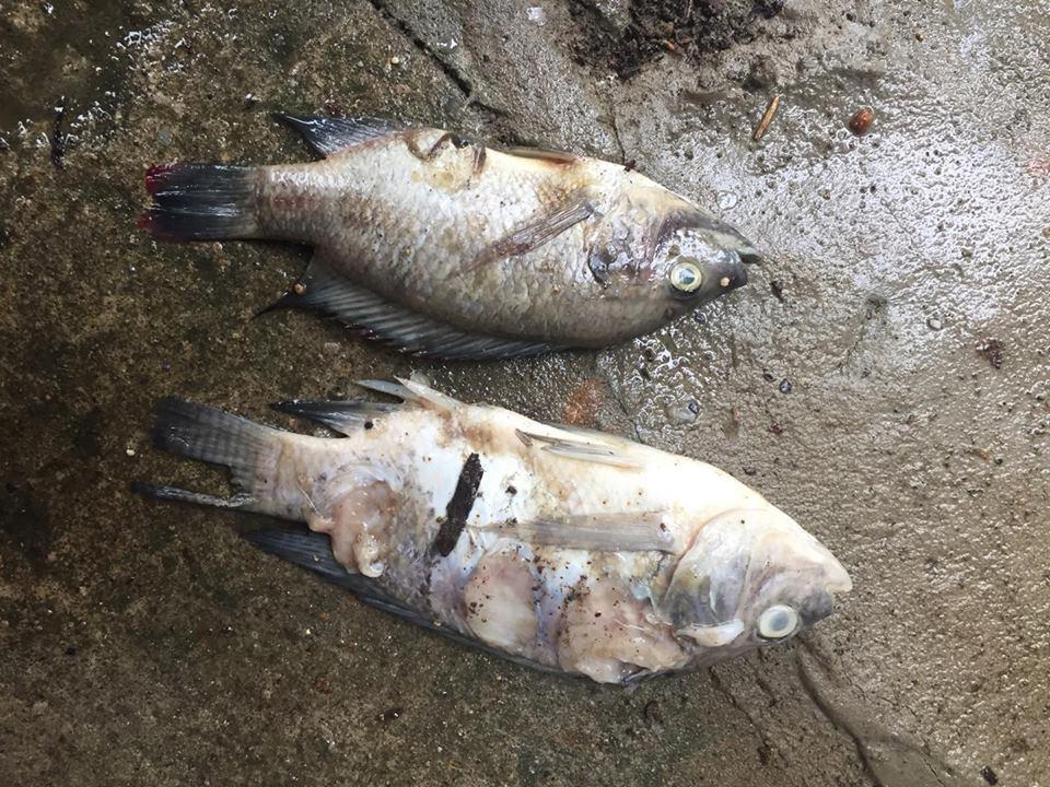 台灣爆發新興吳郭魚湖泊病,病魚會先沉到水底,最後發臭了浮上來,增加防疫困難。由於...