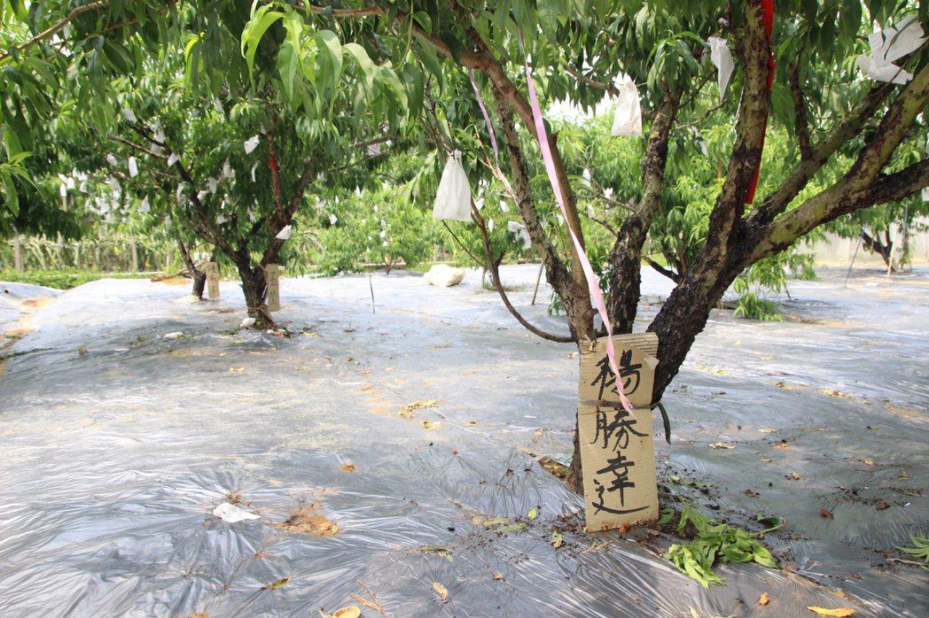 芬園鄉「蟠桃園」讓民眾「包」下水蜜桃樹,能體驗採果樂。記者林敬家/攝影