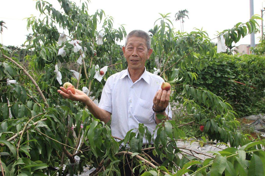 芬園鄉80歲果農粱金江種出香甜多汁的水蜜桃。記者林敬家/攝影