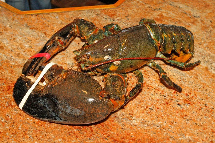 路易是一隻高齡132歲重10公斤的老龍蝦,牠將被放生回大海,還有機會在海裡找到另...