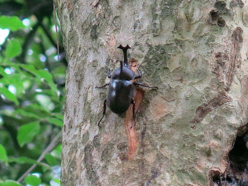 六、七月分正是獨角仙甲蟲的交配季節,壽命僅兩到三個月,有識之士呼籲愛牠,請勿抓牠...